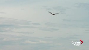 Robotic falcon takes flight at Edmonton International Airport to keep birds away