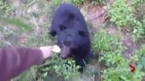 B.C.'s Conservation Officer Service investigating video of man hand feed a bear