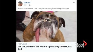 Newly crowned World's Ugliest Dog Zsa Zsa dies