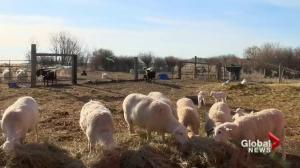 Holistic farms becoming more popular in Saskatchewan