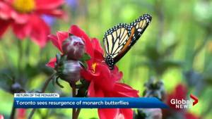 The Return of the Monarch: Toronto sees resurgence of monarch butterflies (01:43)