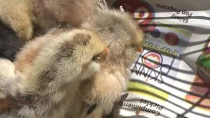 Quinte West woman hatches chicks after eggs were in her fridge for almost a month