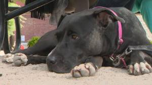 Montreal council votes on pit bull ban (01:40)