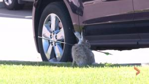 3rd rabbit shot with arrow in 2019 spotted roaming in southeast Calgary