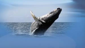 Why are humpback whales making a comeback in the Salish Sea?