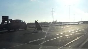 Startled moose slip n' slides across Edmonton highway