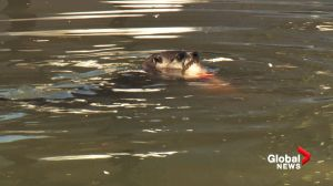 Otter loose in Vancouver's classical Chinese garden feeding on expensive koi