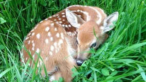 New trend 'fawn-napping' not good for animal: experts