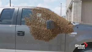 Bees swarm pickup truck in Saskatoon Costco parking lot