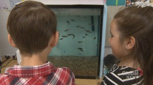 Calgary elementary students prepare to release rainbow trout into the wild