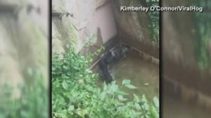 911 call from Michelle Gregg after son falls into gorilla enclosure at Cincinnati Zoo