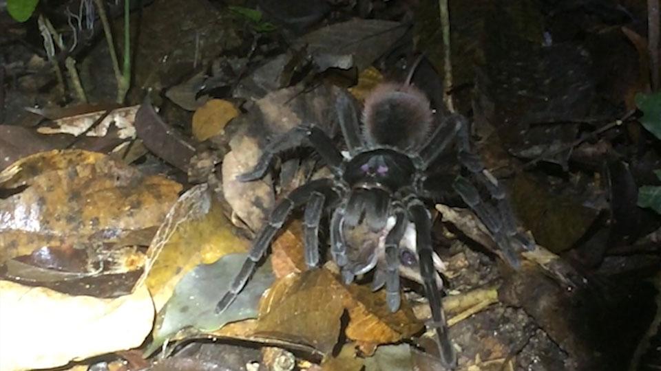 Video Of Giant Tarantula Eating Animal Causes University To