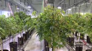 Cannabis industry concerns about crossing U.S. Border