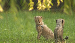 Parc Safari has two cheetah cubs
