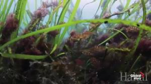 Declining Seagrass Beds