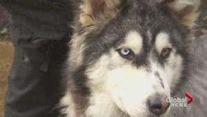 Good Samaritan finds emaciated  'Willow' the Husky