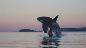 Front row view of orca's playing in B.C. waters