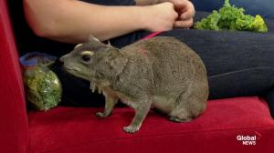'Mokey' the bush hyrax visits from Edmonton Valley Zoo
