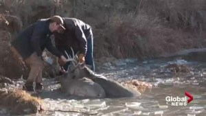 Albertans save drowning buck, locked to another deer's antlers