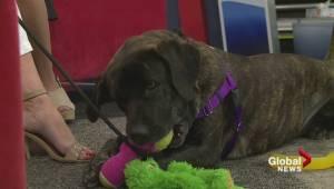 Adopt a Pet:Eva the 2 year old, Labrador Retriever / Rottweiler