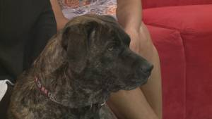 ADOPT A PET: Eva the Labrador Retriever cross Pit Bull Terrier