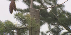 Illegal tree-topping in Vancouver sparks outrage