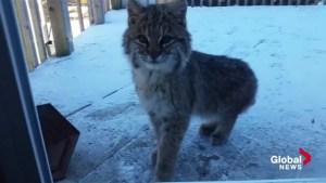 Baby bobcat pays rare visit to Nova Scotia family's backyard