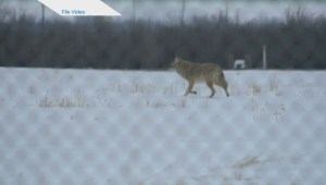 Skinny, hungry coyotes prompt Regina Beach and buena Vista warning