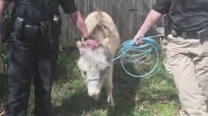 Donkey dash spurs police pursuit in Arkansas