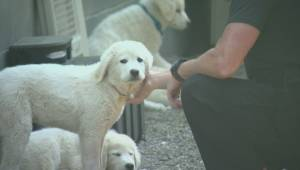 B.C. Wildfires: Owner of 'rescued' puppies say dogs weren't lost