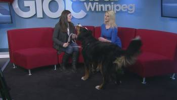 Calgary canine becomes first in Alberta to undergo rare kidney