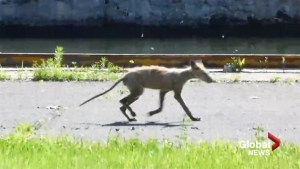 Montreal sets up coyote sighting hotline