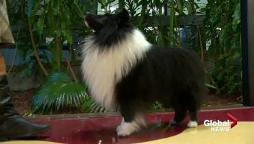 Calgary dog Blackberry competing in Westminster Kennel Club
