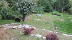 Black bear chases deers out of B.C. yard