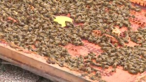 'The number of losses were quite a bit higher': Winnipeg beekeeper