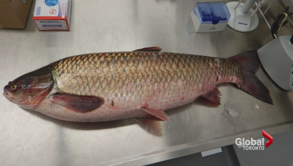 Asian carp danger