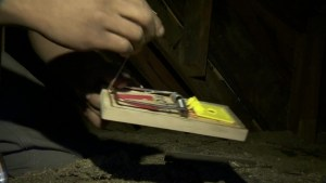 Rat traps catching more than rodents