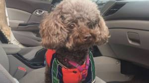Owner pleads for dog stolen in Toronto's east end
