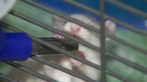 Would you adopt a rat? Vancouver wants you to try