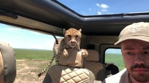 Spotted: Cheetah jumps into car and surprises African safari tour guests