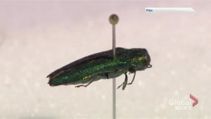 Emerald ash borer found for the first time in Nova Scotia