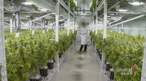 Moncton cannabis supplier bracing for legalization