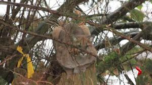 Winter cougar sightings