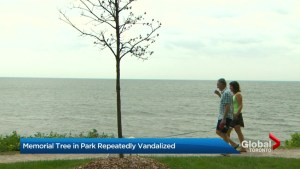 Oakville family searches for answers after memorial tree vandalized 4 times