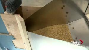 Rosthern, Sask. farmers tap in to malt market