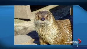Otter dies at Calgary Zoo after becoming tangled in pants (02:34)