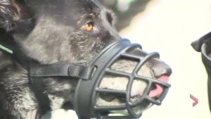 Montreal dog owner fighting city's euthanization order