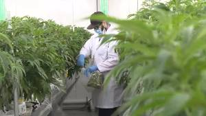 Napanee Cannabis company ABcann in the middle of $30 million expansion