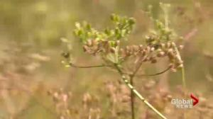Saskatchewan top producer of coriander and caraway
