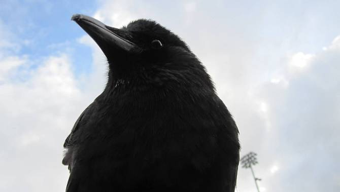 east vancouver s favourite crow is now a fashion icon bc. Black Bedroom Furniture Sets. Home Design Ideas